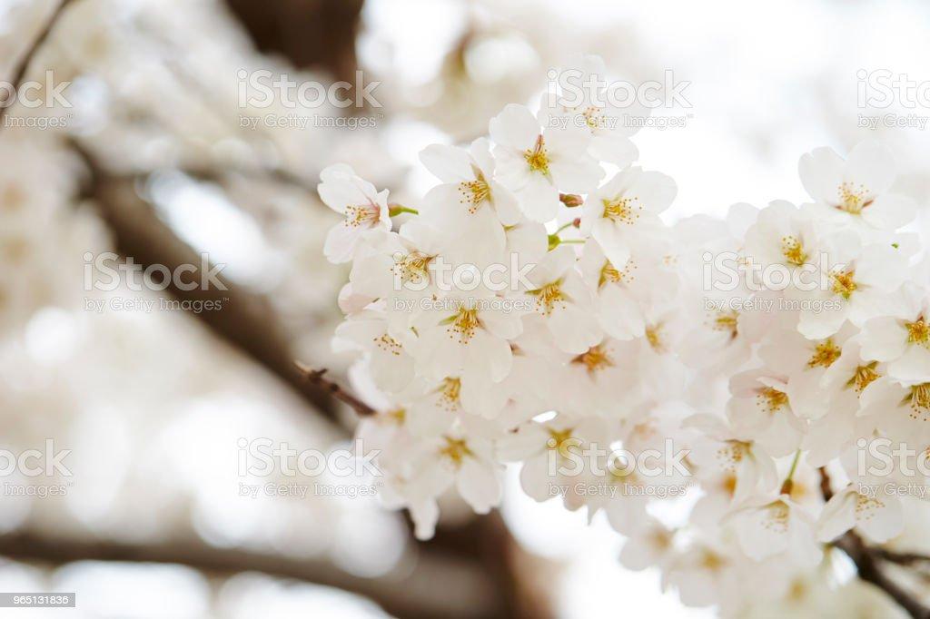 Cherry blossom zbiór zdjęć royalty-free