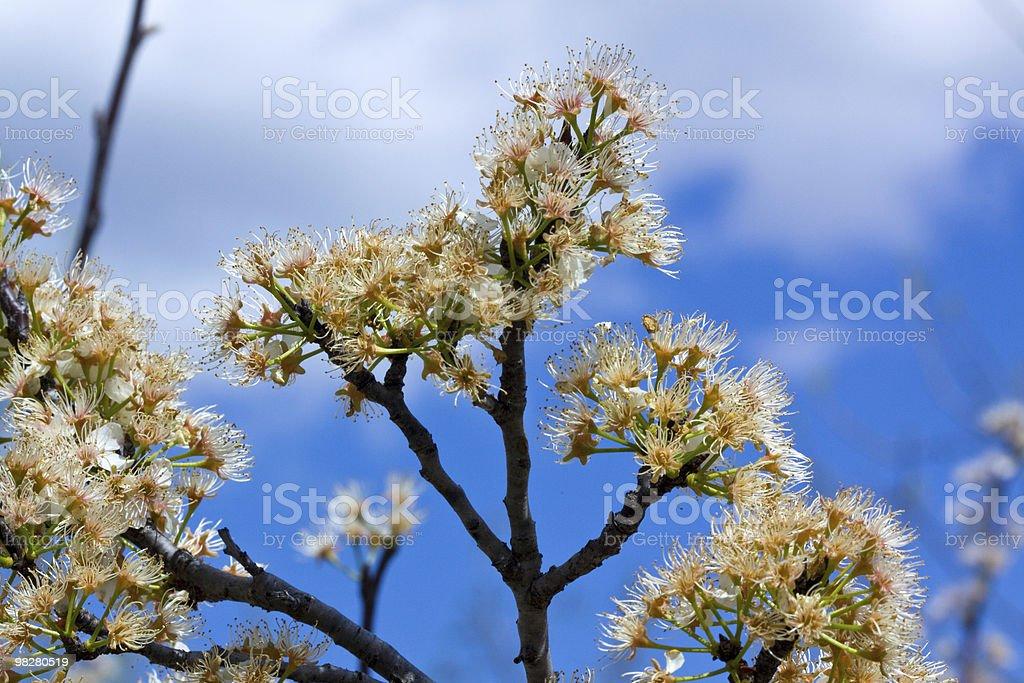 Cherry blossom. royalty-free stock photo