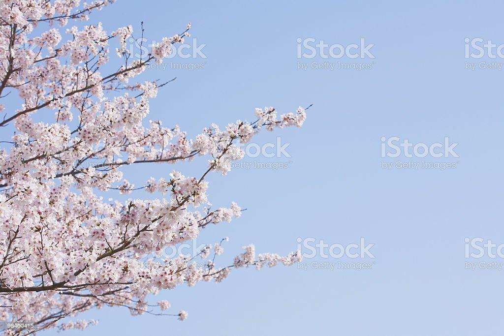 Fiore di ciliegio. foto stock royalty-free