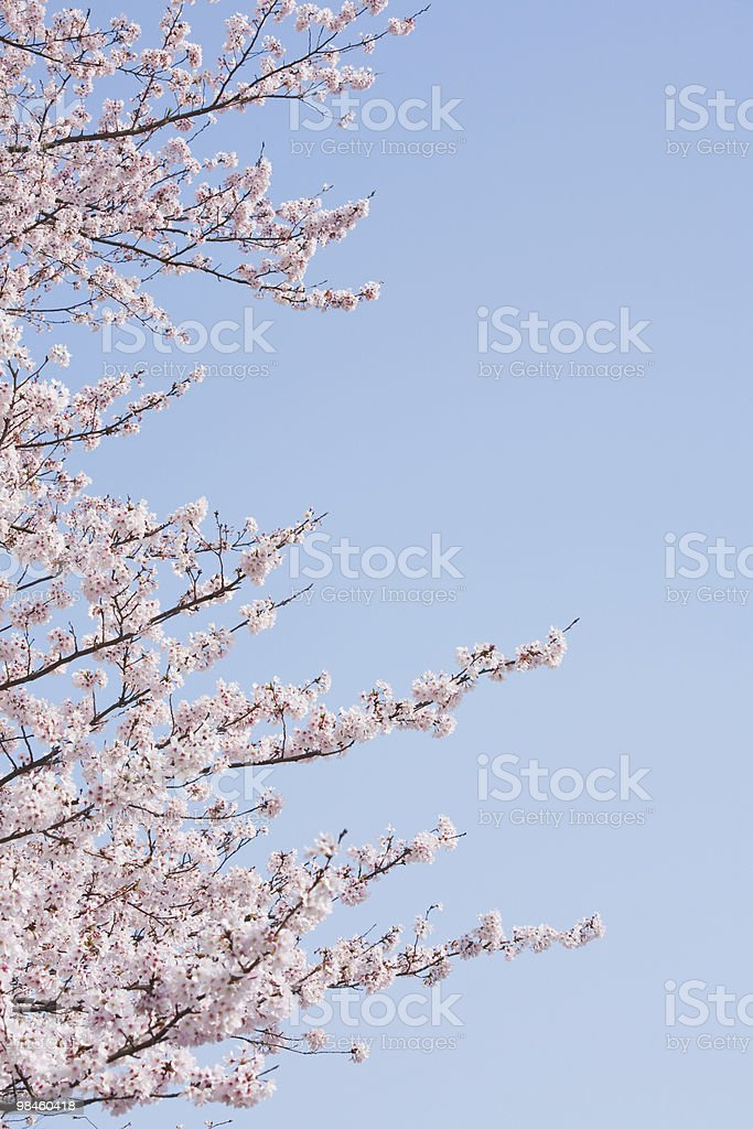 Cherry Blossom. royalty-free stock photo
