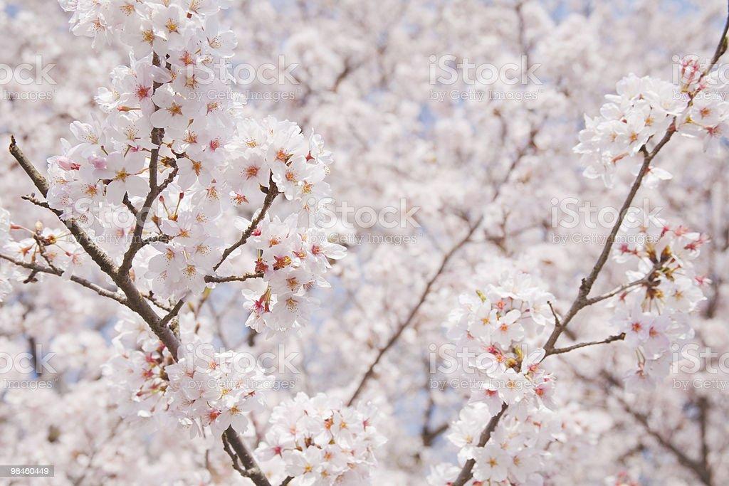 벚꽃. royalty-free 스톡 사진