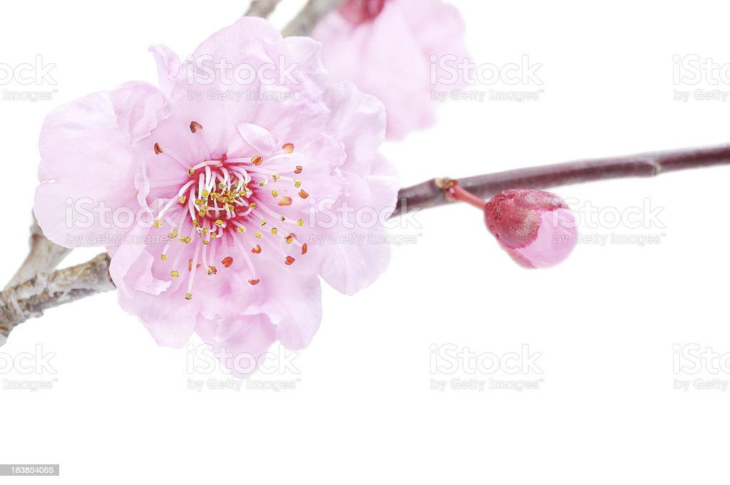 Cherry Blossom Pink royalty-free stock photo