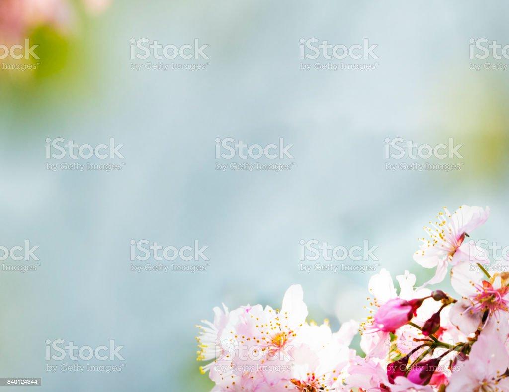 Cherry blossom , pink sakura flower isolated in white background stock photo