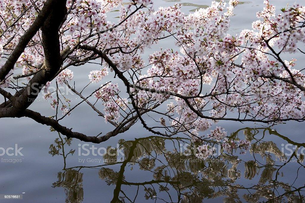 Cherry Blossom Reflection royalty-free stock photo