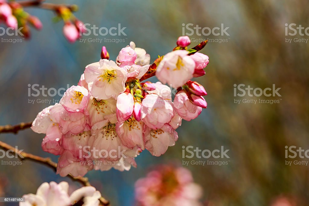 Cherry blossom right after raining foto stock royalty-free