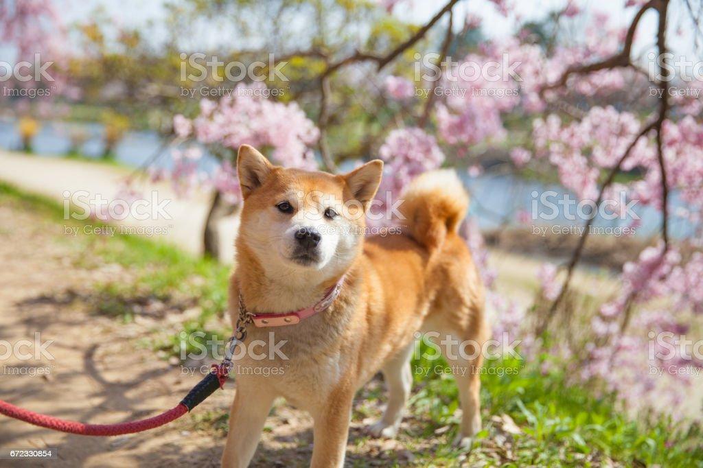 Cherry Blossom SAKURA and Shiba inu stock photo