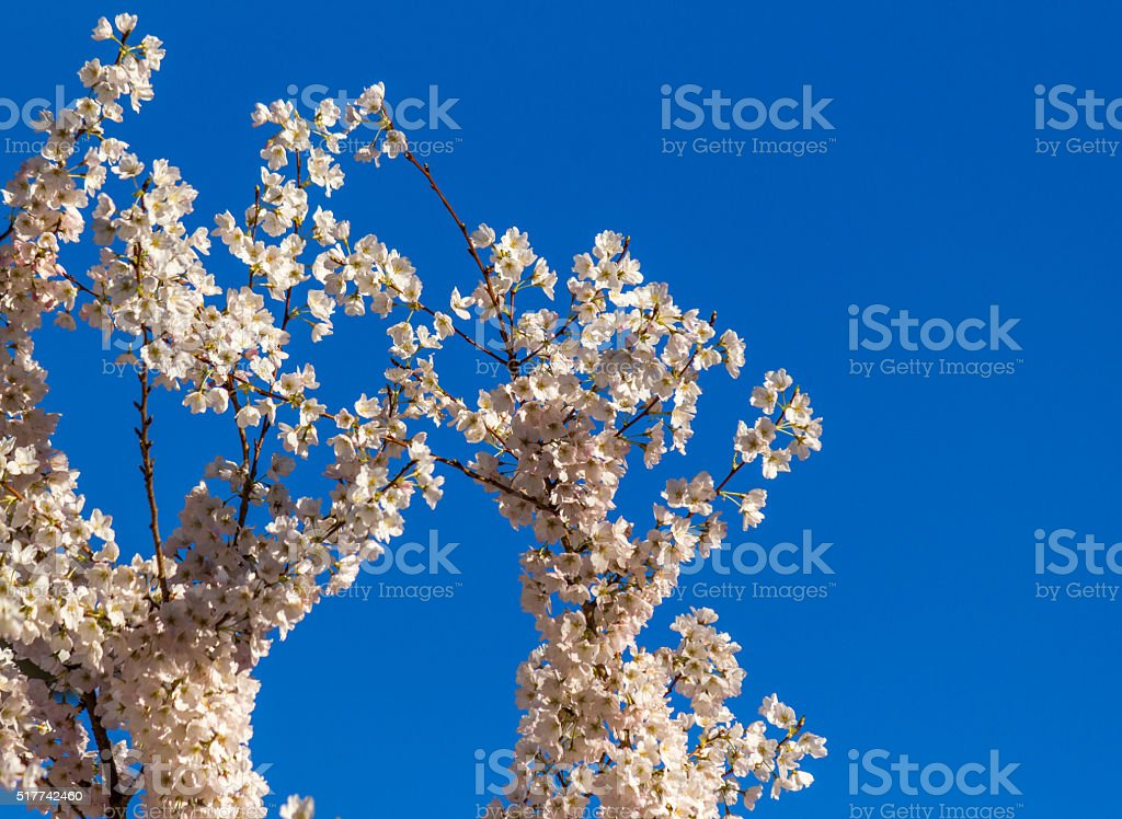 spring nature backgrounds. Cherry Blossom, Sakura Flowers At Spring, Nature, Background Royalty-free Stock Photo Spring Nature Backgrounds