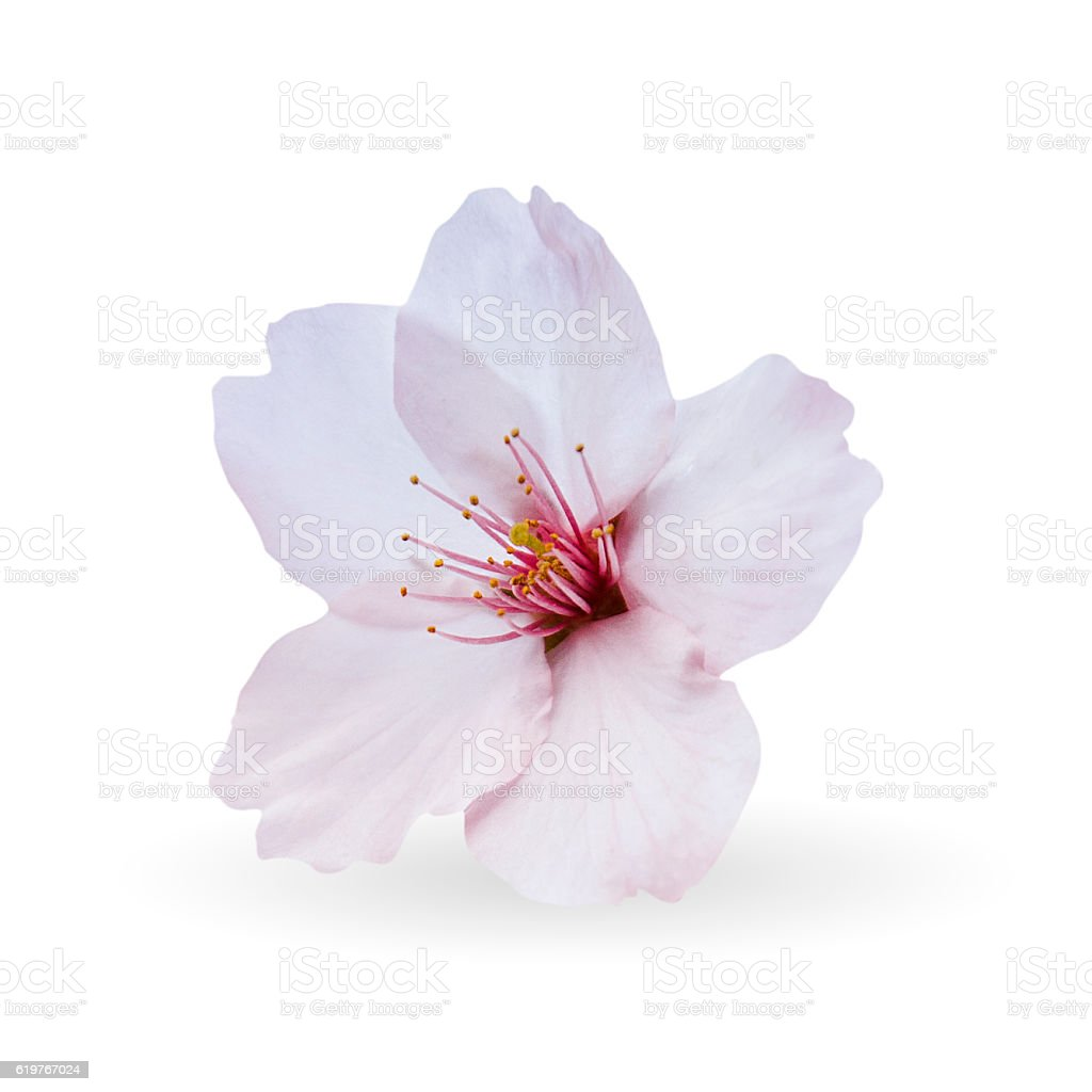 Cherry blossom sakura flowers isolated on white background stock cherry blossom sakura flowers isolated on white background royalty free stock photo mightylinksfo