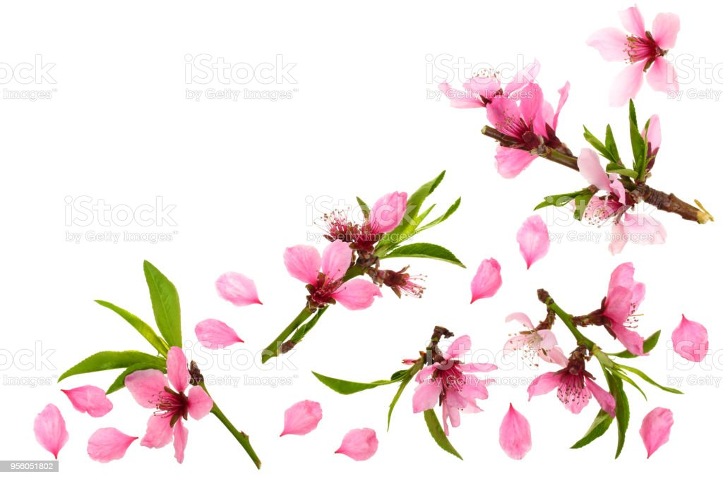 Cherry blossom, sakura flowers isolated on white background with copy space for your text. Top view. Flat lay pattern stock photo