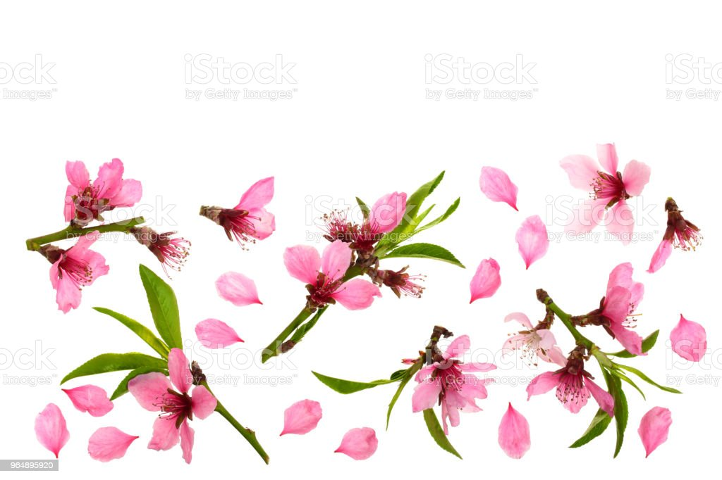 Cherry blossom, sakura flowers isolated on white background with copy space for your text. Top view. Flat lay pattern royalty-free stock photo
