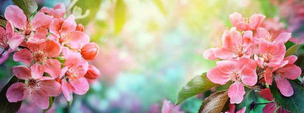 Cherry blossom, sakura flowers. stock photo