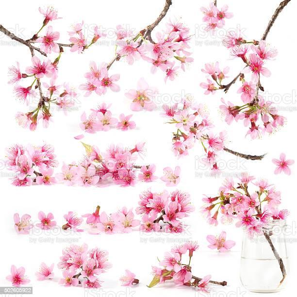 Cherry blossom sakura flowers picture id502605922?b=1&k=6&m=502605922&s=612x612&h=xnoozu2oearxltxs3atrsfg7cdyhgtnvg1ijy7bkiq0=