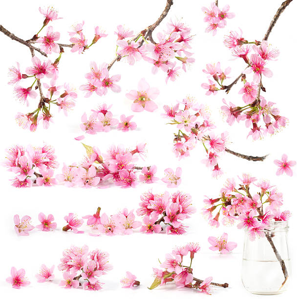 cherry blossom sakura flowers - blossom stock pictures, royalty-free photos & images