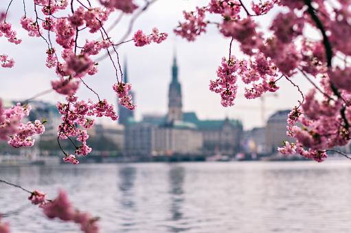 Cherry Blossom - Sakura - Kirschblüten