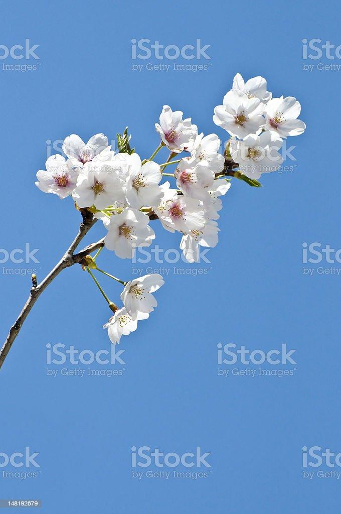 Cherry Blossom - Sakura royalty-free stock photo