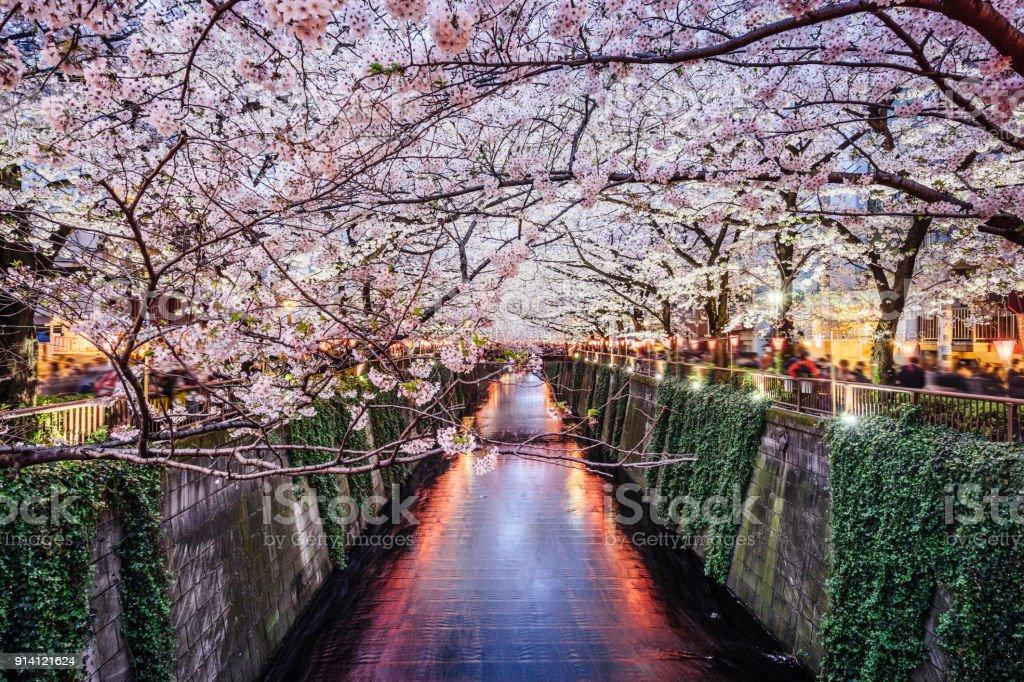 Cherry blossom season in Tokyo at Meguro river stock photo