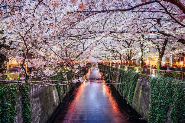 cherry blossom season in tokyo at meguro river - tokyo japan stock photos and pictures