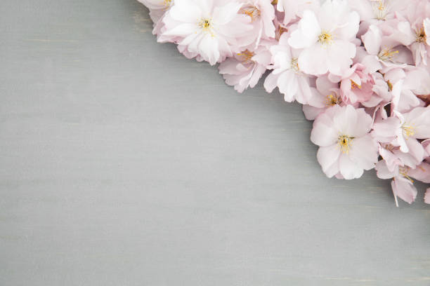 Royalty Free Cherry Blossom Template Pictures, Images and Stock ...