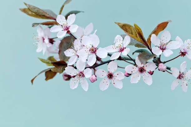 Cherry blossom spring background picture id934410898?b=1&k=6&m=934410898&s=612x612&w=0&h=wusyc i kk1ujvmd0y9ghjlpq4hpjjqhbtied83ahdu=