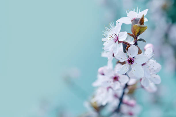 cherry blossom - spring background - sakura background stock photos and pictures