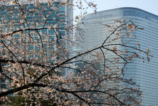 Cherry Blossom Tokyo Japan Stock Photo - Download Image Now