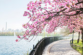 This is a royalty free stock color photograph from Central Park, an urban travel destination in New York City, USA. Pink cherry blossom trees in full bloom cover the running path along the reservoir on the Upper West Side of Manhattan. Photographed with a Nikon D800 DSLR in spring.