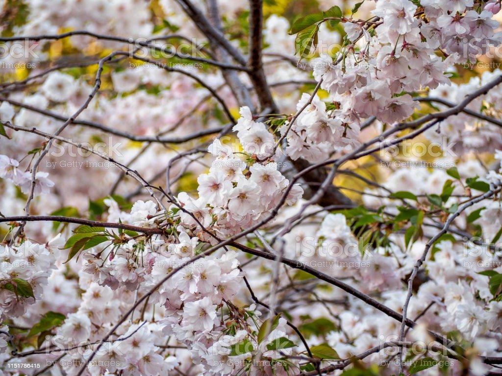 Cherry Blossom Tree In Bloom Closeup Of Sakura Flowers On