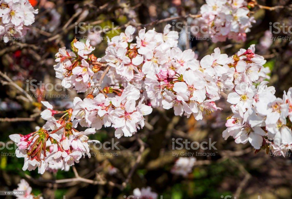 Cherry Blossom Tree In Bloom Closeup Sakura Flowers On