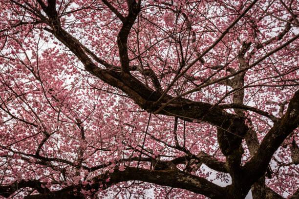 Cherry Blossom Tree stock photo