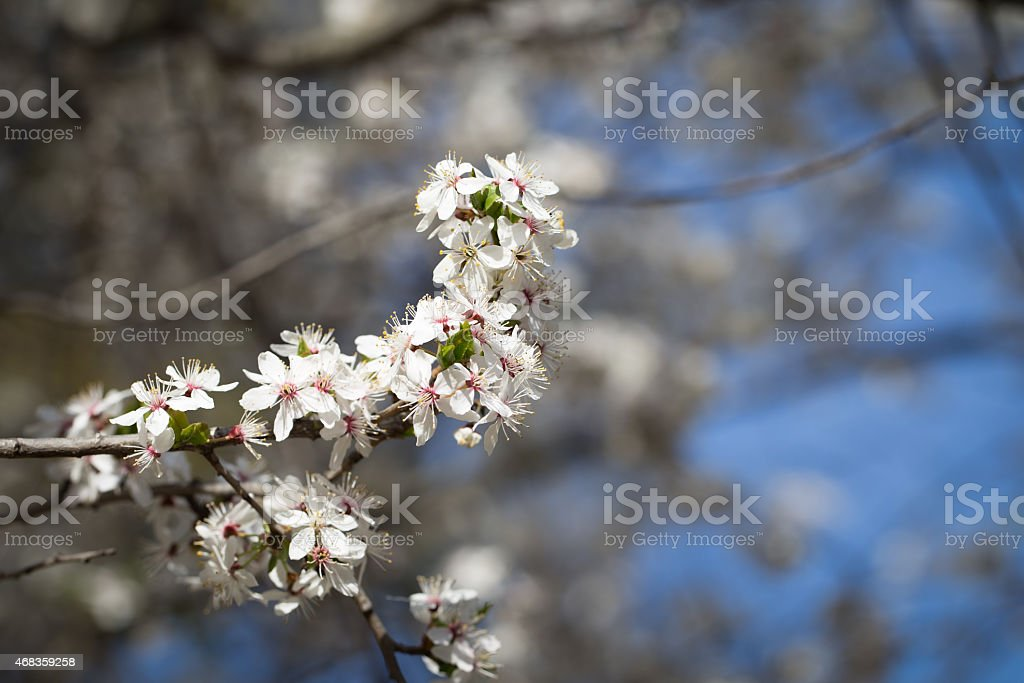 Cherry blossom tree royalty-free stock photo