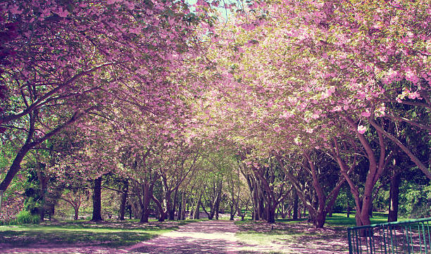 Cherry Blossom Tree - foto de stock