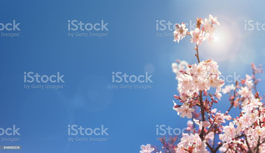 Cherry blossom tree spring background stock photo
