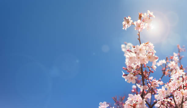 cherry blossom tree spring background - june stock photos and pictures