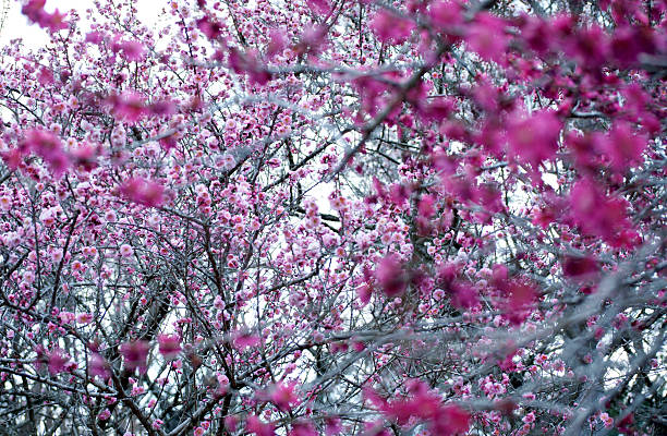 Cherry Blossom Tree With Pink Flowers