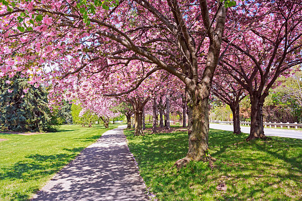 Cherry Blossom Trees along Road stock photo
