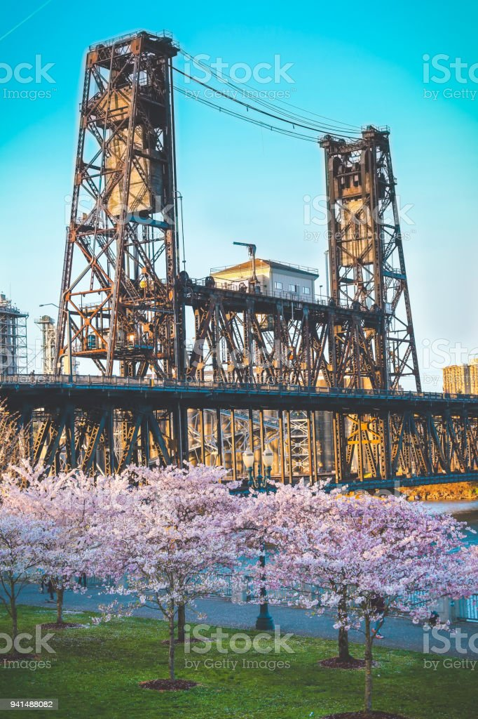 Cherry Blossom Trees and Steel Bridge in Background on a Beautiful Spring Day. Porltand, Oregon. stock photo
