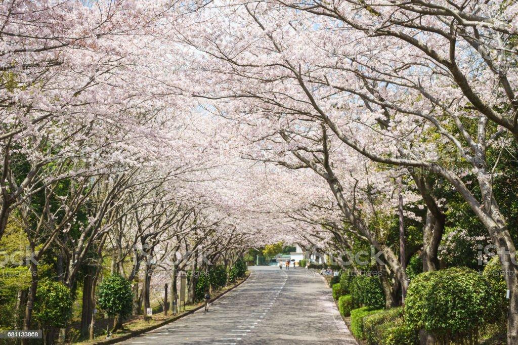 Cherry blossom trees in Ashitaka athletic park foto stock royalty-free
