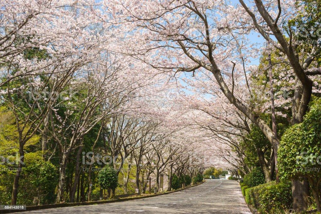 Cherry blossom trees in Ashitaka athletic park zbiór zdjęć royalty-free
