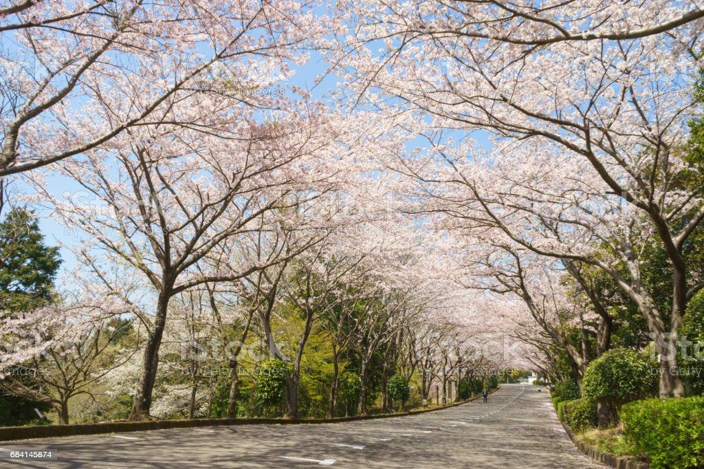 Bomen van de kersenbloesem in Ashitaka atletisch park royalty free stockfoto