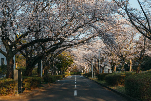 Cherry blossom trees in Japan during Sakura Season