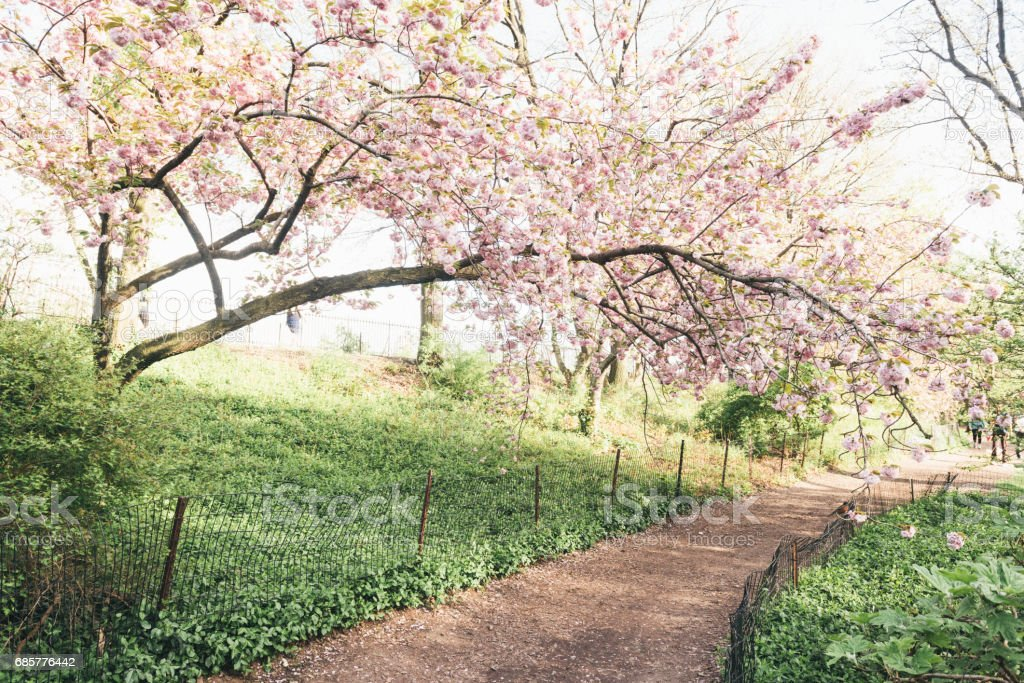 Cherry Blossom Trees Line Idyllic Spring Path Central Park NYC royalty-free stock photo