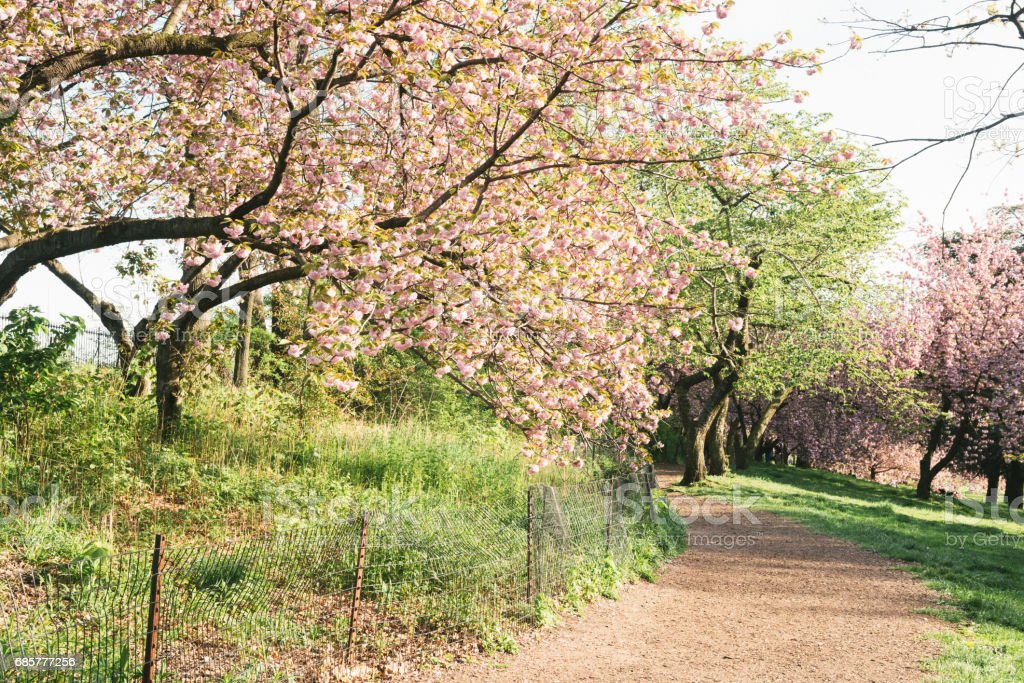 Cherry Blossom Trees Line Idyllic Spring Path Central Park NYC 免版稅 stock photo
