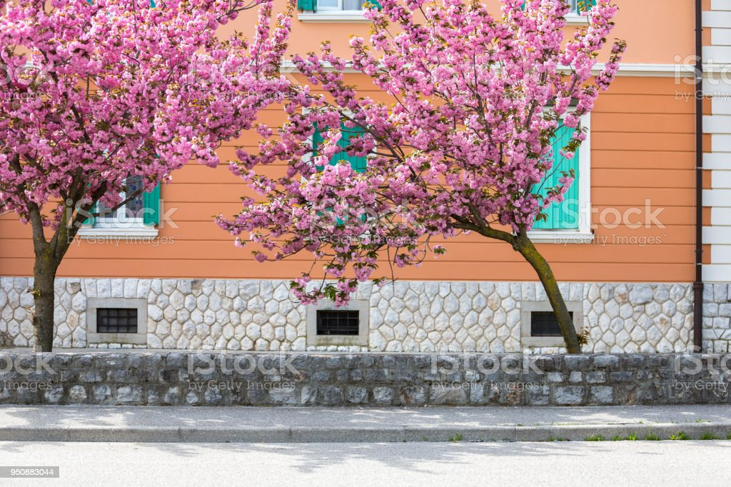 Cherry blossom twins in front of orange building stock photo