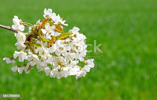 Cherry blossom umbel against green grass background, blurred bee in flight