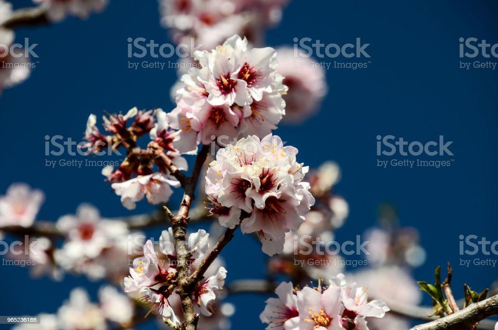Cherry blossom Vibrant color Wild cherry royalty-free stock photo