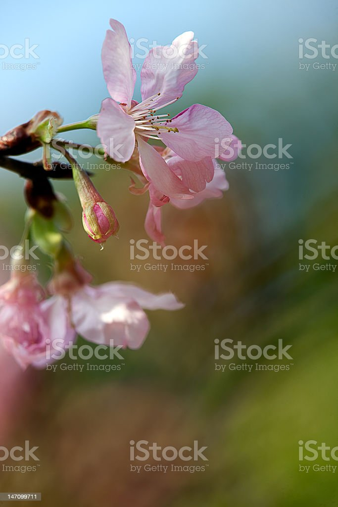 Cherry Blossom with nice background color royalty-free stock photo