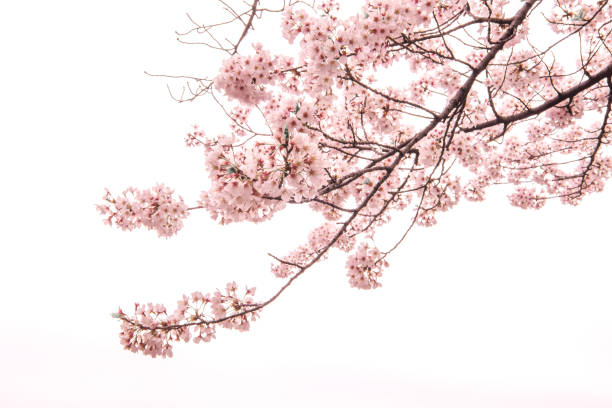 Cherry Blossom with Soft focus, Sakura season in japan,Background stock photo