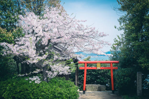 Cherry Blossom with Torii during the spring in Tomonoura. stock photo