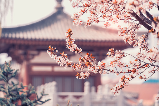 Cherry Blossom with traditional chinese roof in qing long temple,xi an,china.