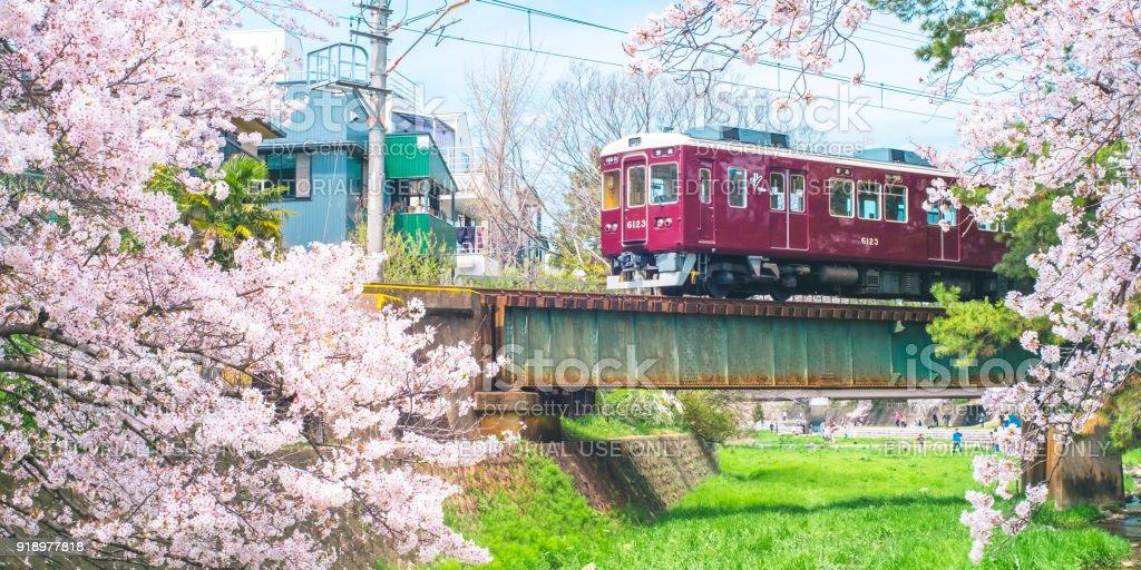 Cherry Blossom with Train from Shukugawa Park. stock photo
